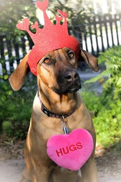 Pets | Dogs | A Queen of Hearts - she is our Rhodesian Ridgeback.