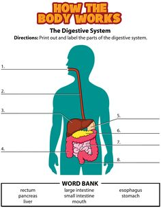 Human Digestive System For Kids Human Digestive System Labeled For Kids Digestive System Diagram - The Anatomy Body Digestive System For Kids, Human Digestive System, Science Education, Teaching Science, Life Science, Science Curriculum, Health Education, Teaching Ideas, Human Body Unit