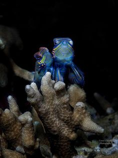 mandarin fish, Synchiropus splendidus in the act of coupling.. manado , indonesia