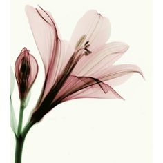x_ray_flower_by_coopr-d3fb57g.jpg ❤ liked on Polyvore featuring backgrounds and flowers