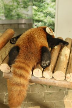 Red panda.... literally would pay a bazillion dollars to own one of these