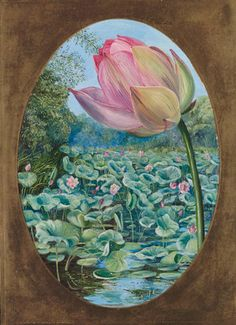 The Sacred Lotus or Pudma. Botanical print by Marianne North