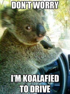 Pun- funny-koala-driving-car-worrying