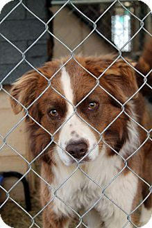 Urgent very rural kill shelter not many adoptions overcrowded this beautiful boy is flagged rescue only  Spent his life on a vhain  Shelter is not affiliated with any rescues so no help is coming Please share or save Ryan Sparta, TN - Australian Shepherd. Meet Ryan a Dog for Adoption.