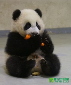 My favorite animal eating my favorite vegetable. #winning
