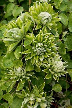 Clematis Green Passion ('Zo11050')