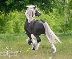 Vanner  8583-55A :: Horses Stock Photography and Equine Images by Mark J. Barrett