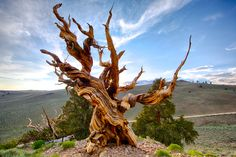 4800 year old Bristlecone Pine tree in California