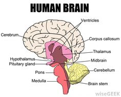 Image result for brain stem cross section weigert neuroanatomy brainstem diagram google search ccuart Choice Image