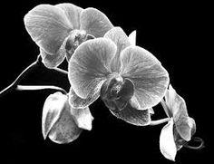 Google Image Result for http://images.fineartamerica.com/images-medium/black-and-white-orchid-larry-federman.jpg