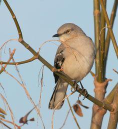 Mimus polyglottos [Northern Mockingbird] This year round resident is the State Bird of Texas. Birds 2, Wild Birds, Beautiful Birds, Beautiful Images, State Birds, Bird Book, To Kill A Mockingbird, Life List, All Gods Creatures