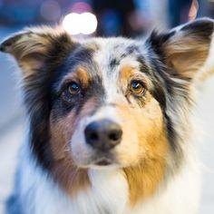 Hudson, Australian Shepherd (9 y/o), 12th & 3rd Ave, New York, NY//the dogist