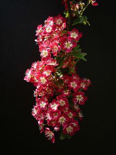 "crataegus ""Crimson cloud"" by peltier patrick, via Flickr Garden Trees, Science And Nature, Pink Flowers, Planting Flowers, Beautiful Flowers, Cloud, Succulents, Plants, Projects"