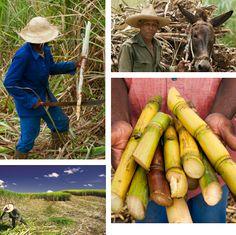 Travail dans les champs de canne à sucre sur les terres de la distillerie de rhum La Mauny en Martinique.
