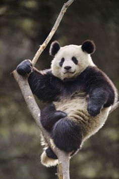 I love you panda <3