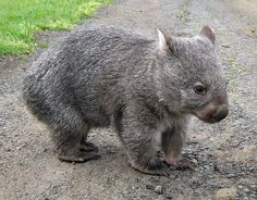 Common, Coarse-haired or Bare-nosed Wombat (Vombatus ursinus) - restricted to Flinders Island, to the north of Tasmania Cute Wombat, Baby Wombat, Animals And Pets, Baby Animals, Cute Animals, Common Wombat, The Wombats, Australia Animals, Puppies