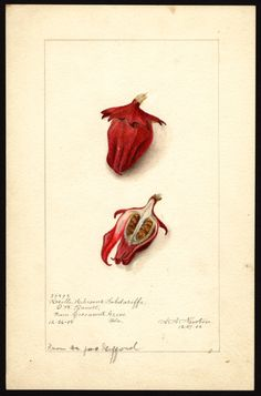 Newton, Amanda Almira (ca.1860-1943), Hibiscus sabdariffa: Roselle; 1905 | USDA Pomological Watercolor Collection