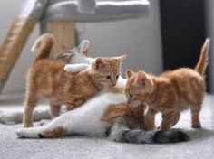 cute alice the cat mothering rescue ginger kittens