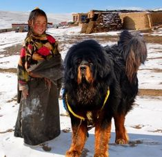 #Tibettour #Tibetan #Tibettravel Tibetan Mastiff is a kind of dog,it's fierce and powerful. It's recognized as the most expensive dog in the world, and almost ever Tibetan family in the country areas owns one. You may encounter with them for many times during a Tibet tour.