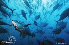 Bluefin tuna. Photo by Brian Skerry. For more, visit http://www.newenglandoceanodyssey.org/