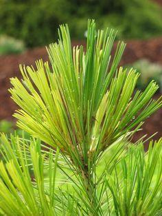 Pinus peuce 'Aureovariegata'