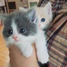 Kittens Cutest Baby, Cute Little Kittens, Cute Baby Cats, Kittens And Puppies, Cute Cats And Kittens, I Love Cats, Cute Animal Memes, Cute Animal Videos, Baby Animals Super Cute