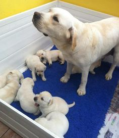 Lab mama with pups.