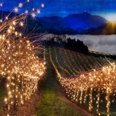 christmas lights for a vineyard... so pretty!