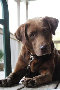 Beautiful Labrador Retriever
