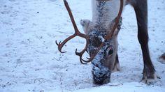 Young reindeer girl in the winter. http://wildnordic.fi/safaris/reindeer-tours/