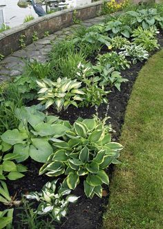Growing Hostas: A Favorite Shade Loving Perennial Growing Hostas: A Favorite Shade Loving PerennialThe hosta is one of the most sought after shade perennials on the market today. This herbac Shade Garden Plants, Hosta Plants, Shade Perennials, Garden Borders, Planting Bulbs, Front Yard Landscaping, Landscaping Ideas, Inexpensive Landscaping, Plantation