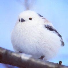 #シマエナガ #鳥 #北海道 #かわいい  #longtailedtit #bird #birb #hokkaido  #kawaii Cute Birds, Pretty Birds, Beautiful Birds, Animals Beautiful, Pretty Animals, Cute Baby Animals, Animals And Pets, Funny Animals, Animal Pictures
