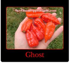 Red Bhut Jolokia Ghost Pepper, one of the hottest pepper in the world!  Pre-order your plants now to make sure you receive them in May.  Free shipping and tracking.