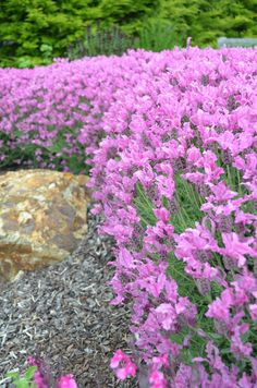 'The Princess Lavender' brings a new pink intensity to the genus. When in full bloom, the pink flowers really stand out against the grey-green leaves. Lavender Hedge, Lavender Garden, Pink Garden, Lavender Flowers, Flowers Garden, Full Sun Flowers, Rock Flowers, Full Sun Plants, Hedging Plants