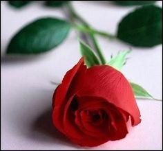 Sirlei Passolongo In Poesias: Rosa da alma