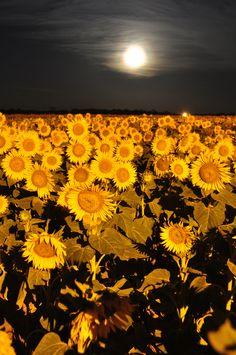 Sunflowers ***by Carlos  Janik  Sunflower field under the moon  Via Flickr: Presidencia Roque Sáenz Peña, Chaco, Argentina