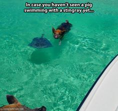 Ever seen a pig swimming with a stingray