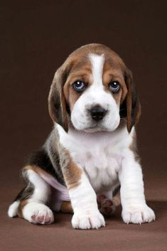 """Outstanding """"top beagle puppies"""" detail is offered on our web pages. Read more and you will not be sorry you did. Baby Beagle, Beagle Puppy, Corgi Puppies, Cute Dogs And Puppies, I Love Dogs, Doggies, Cute Baby Animals, Funny Animals, Perro Labrador Retriever"""