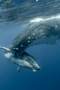 Humpback mom & baby whales
