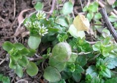 Star chickweed is an edible weed