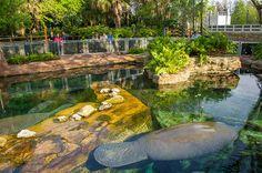 SeaWorld Orlando (FL) abre para visitação área de reabilitação de peixes-bois resgatados Nova experiência chamada Manatee Rehabilitation está disponível gratuitamente no parque ORLANDO, FL (1º de Abril de 2016) - O SeaWorld Orlando acaba de inaugurar...