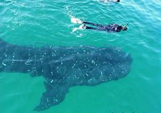 Vertigo @ 52' -- My Diving & Travel Blog: Utila, Honduras -- Whale Shark Experience pt.2