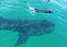 Vertigo @ 52' -- My Diving & Travel Blog: Utila, Honduras -- Whale Shark Experience pt.2
