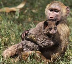 Unusual Friends — Animal Talk — Page 21The baboon was rescued in Maralal, in the northern part of Kenya while the galagos was rescued in Nyeri, located in central Kenya.    Yellow baboons usually live in the eastern forests of Africa in the forest and are baboons from the Old World monkey family.    Galagos are small, nocturnal primates native to continental Africa, and make up the family Galagidae  They are sometimes included as a subfamily within the Lorisidae or Loridae.