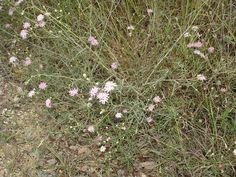 Palafoxia callosa (Small palafox) #14765