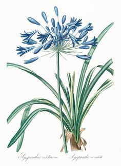 Some species of Agapanthus are commonly known as lily of the Nile or African lily .The genus Agapanthus was established by L'Heritier in Illustration Botanique, Illustration Blume, Botanical Illustration, Vintage Botanical Prints, Botanical Drawings, Vintage Prints, Vintage Floral, Botanical Flowers, Botanical Art