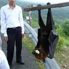 """Referred to as """"The Silent Planter"""", giant golden-crowned flying-foxes are known to scatter the seeds of the fruit they eat in their dropping; this makes them vital to the ecosystem of the Philippines' rainforests."""
