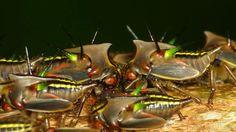 Treehopper nymphs, Alchisme grossa
