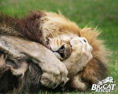 Cameron the lion just HATES monday mornings! Big Cat Rescue - Tampa FL