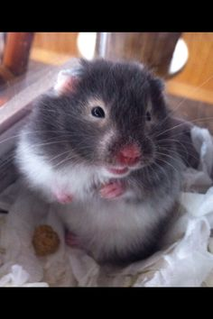 Cute little hamster! Cleopatra! Panda bear!